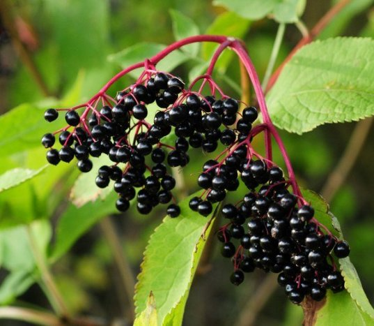 fructele-de-soc-5-beneficii-ale-consumului-de-boabe-de-soc