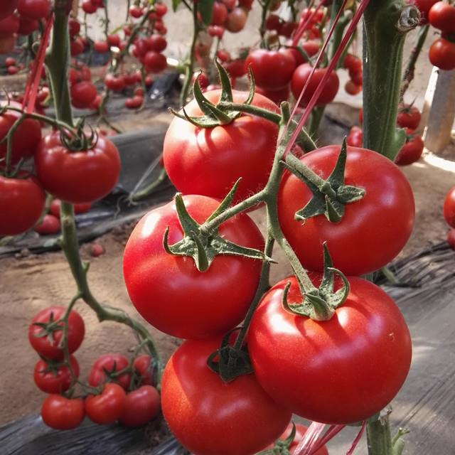 large-red-cherry-tomato-seeds08190685403
